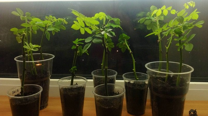 вырастить розы из черенков