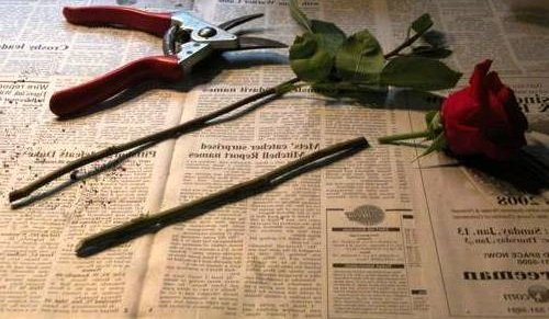 Как вырастить розы из срезанной розы вырастить розу