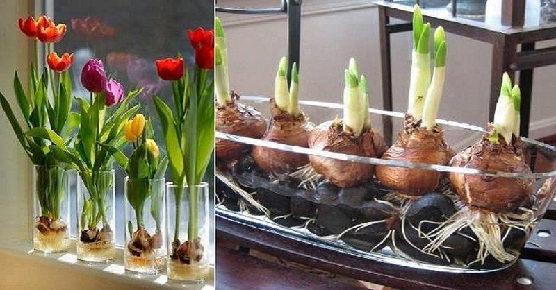 как вырастить тюльпаны фото