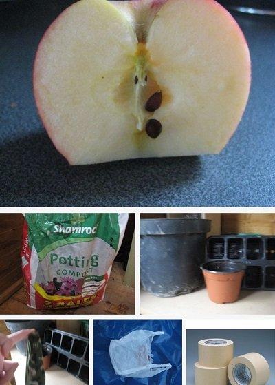 Вырастить яблоки в домашних условиях
