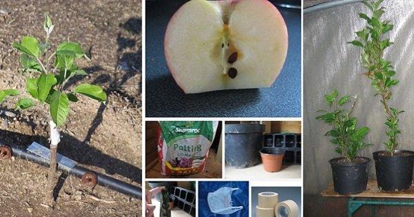 Для тех, кто еще не посадил дерево: вырасти яблоню из семечки.
