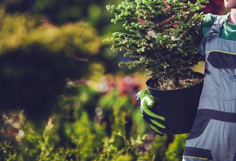 как посадить ель на участке
