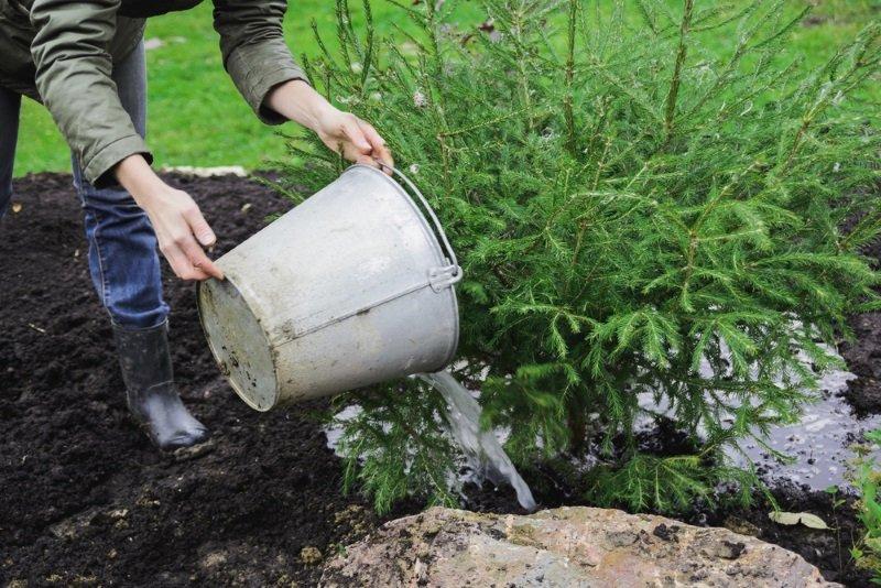 как посадить ель во дворе