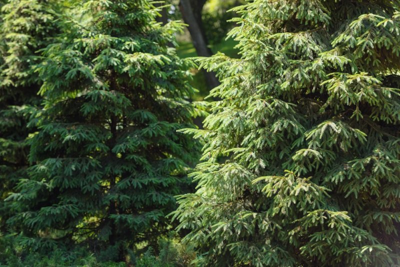 https://ru.depositphotos.com/202419038/stock-photo-selective-focus-pine-trees-forest.html