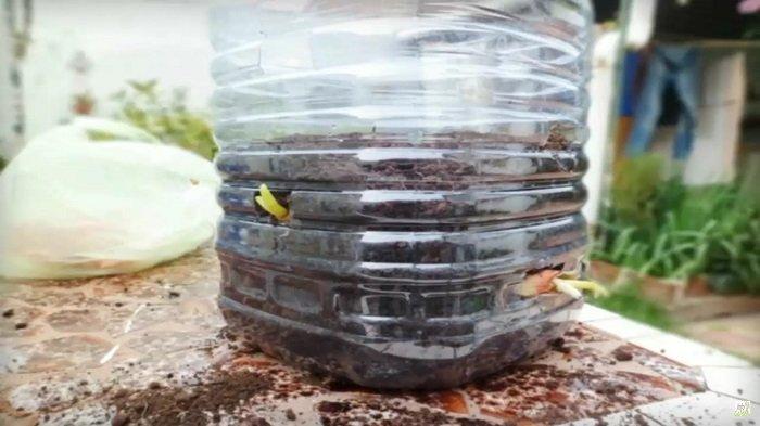 как вырастить зеленый лук в пластиковой бутылке
