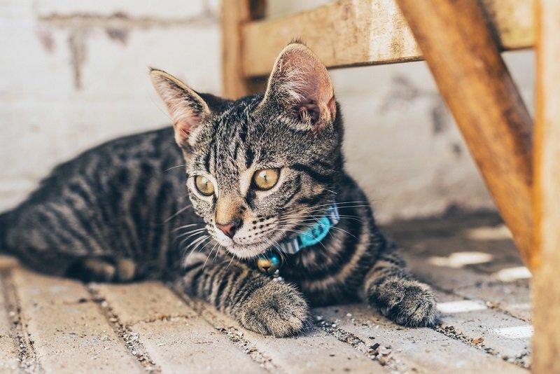 как избавиться от блох у кота