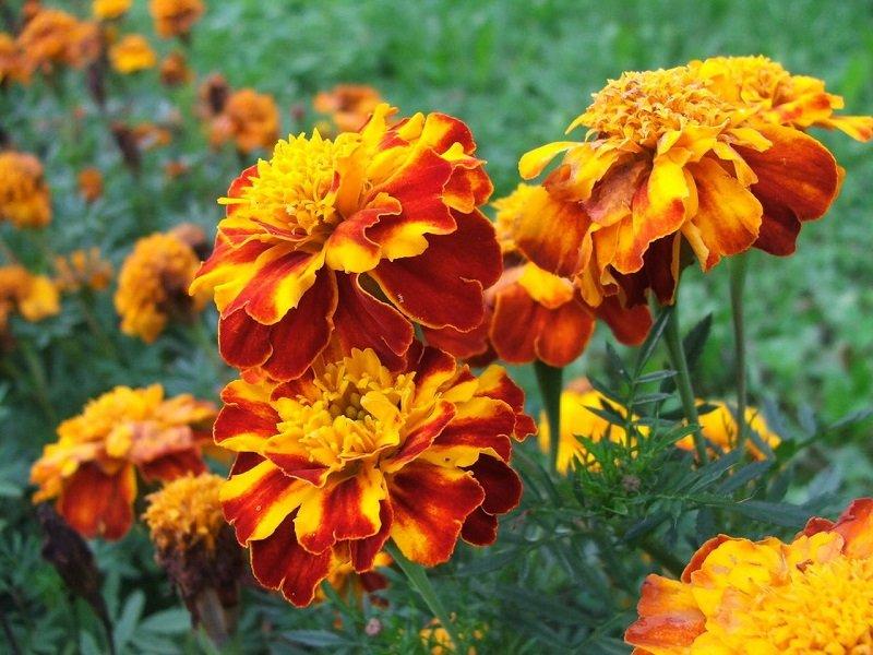 какие цветы посадить на даче чтобы цвели все лето