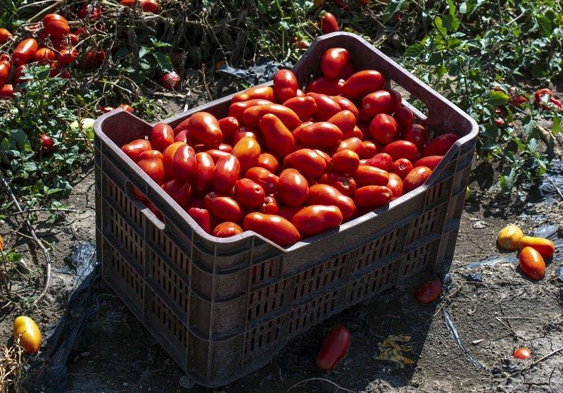 Сколько кустов томатов посадить на огороде Вдохновение,Советы,Быт,Консервация,Овощи,Огород,Помидоры