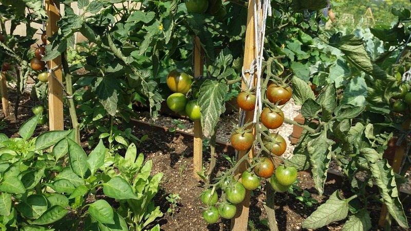 грядка с помидорами