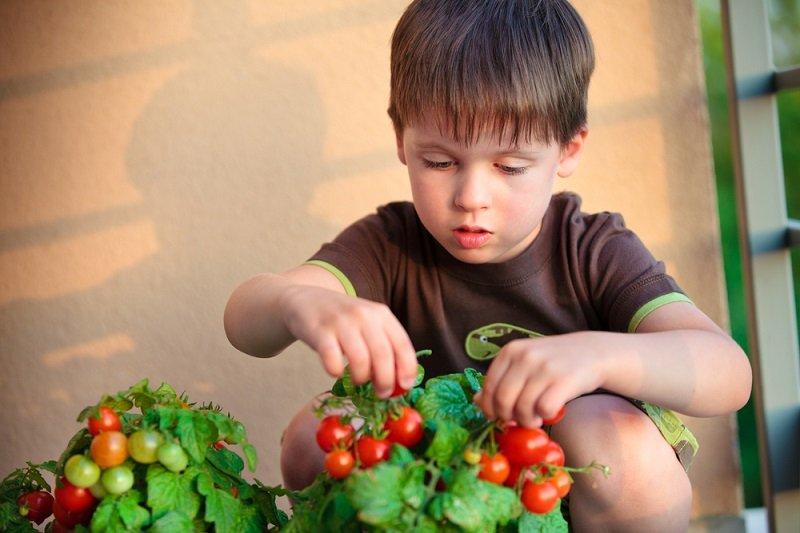 когда собирать помидоры