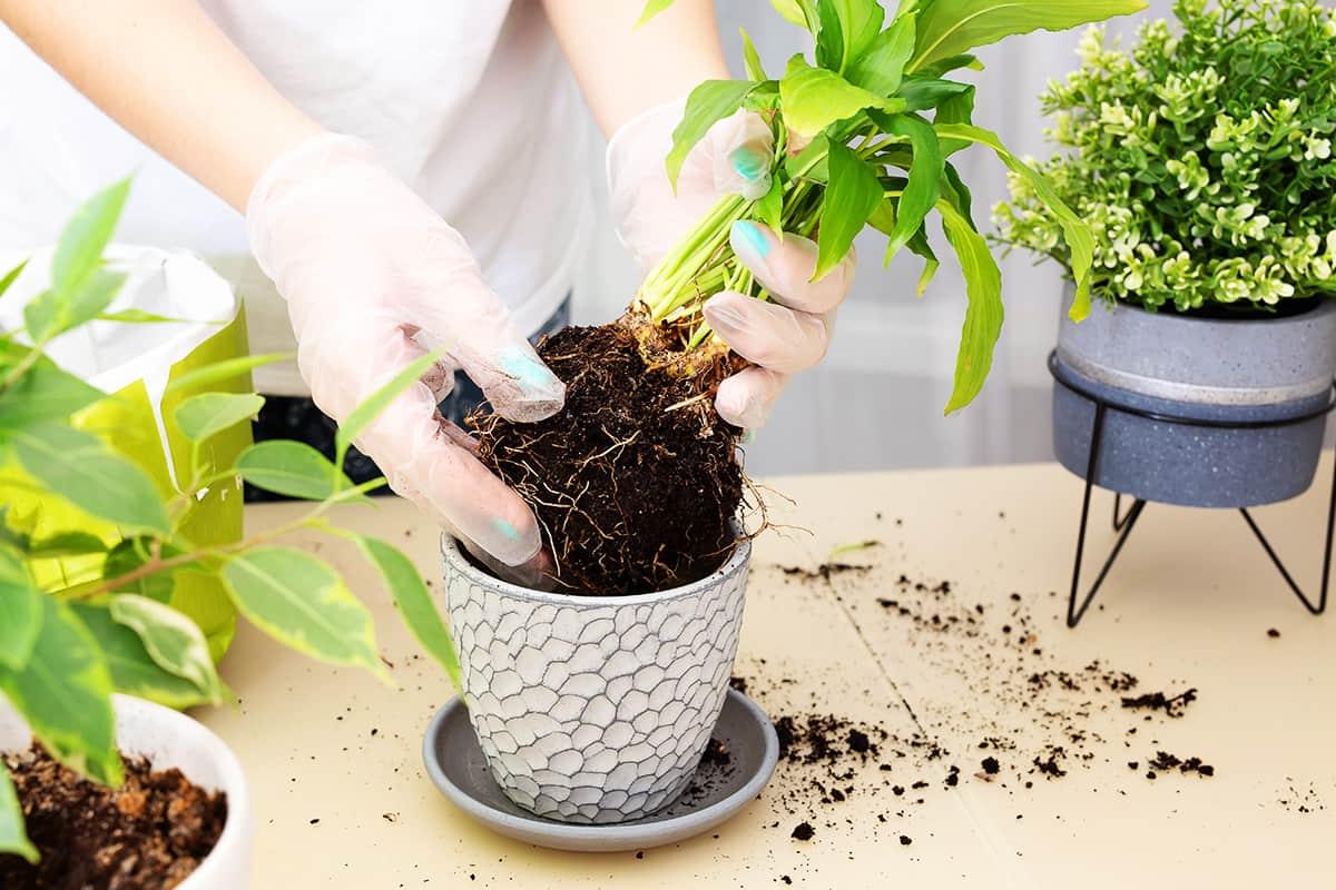 Грядет весенняя пересадка растений, рассказываю ошибки, после которых цветы не спасти