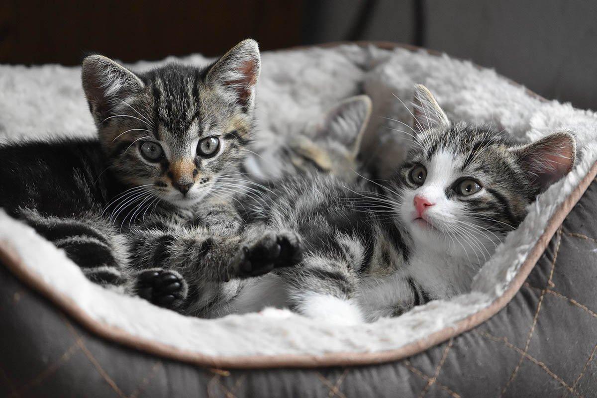 У каких пород кошек собачий характер