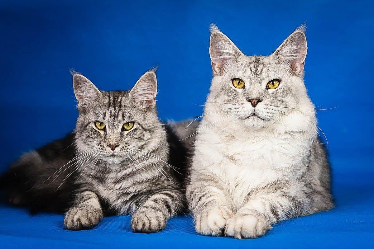 У каких пород кошек собачий характер Вдохновение,Советы,Дрессировка,Животные,Кошки,Питомцы,Порода,Собаки,Уход,Характер
