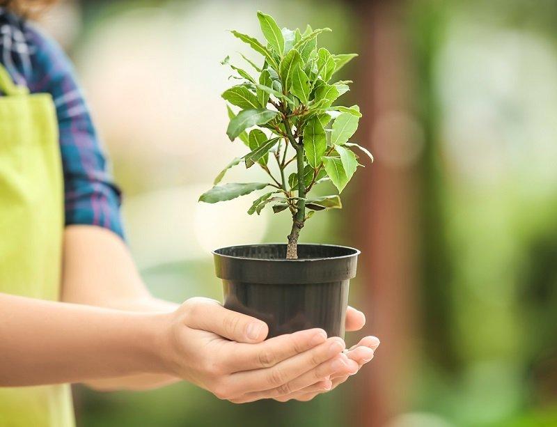 лавровое дерево символ