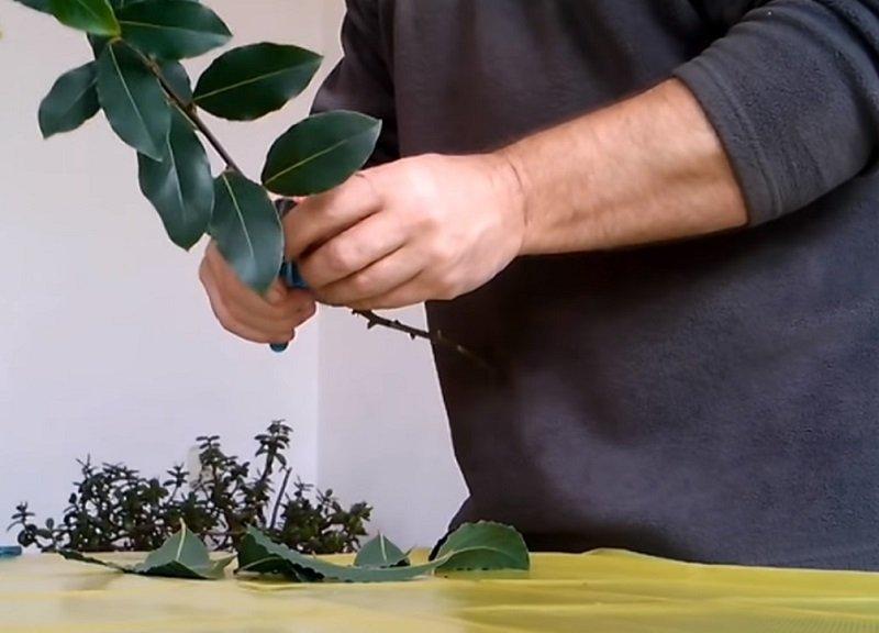лавровое дерево вырастить дома
