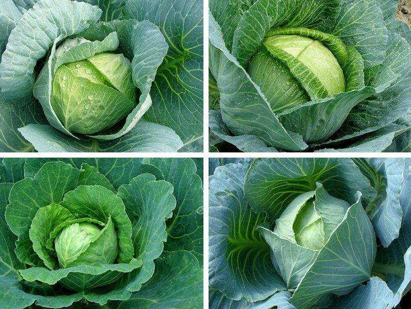 лечебные свойства капусты