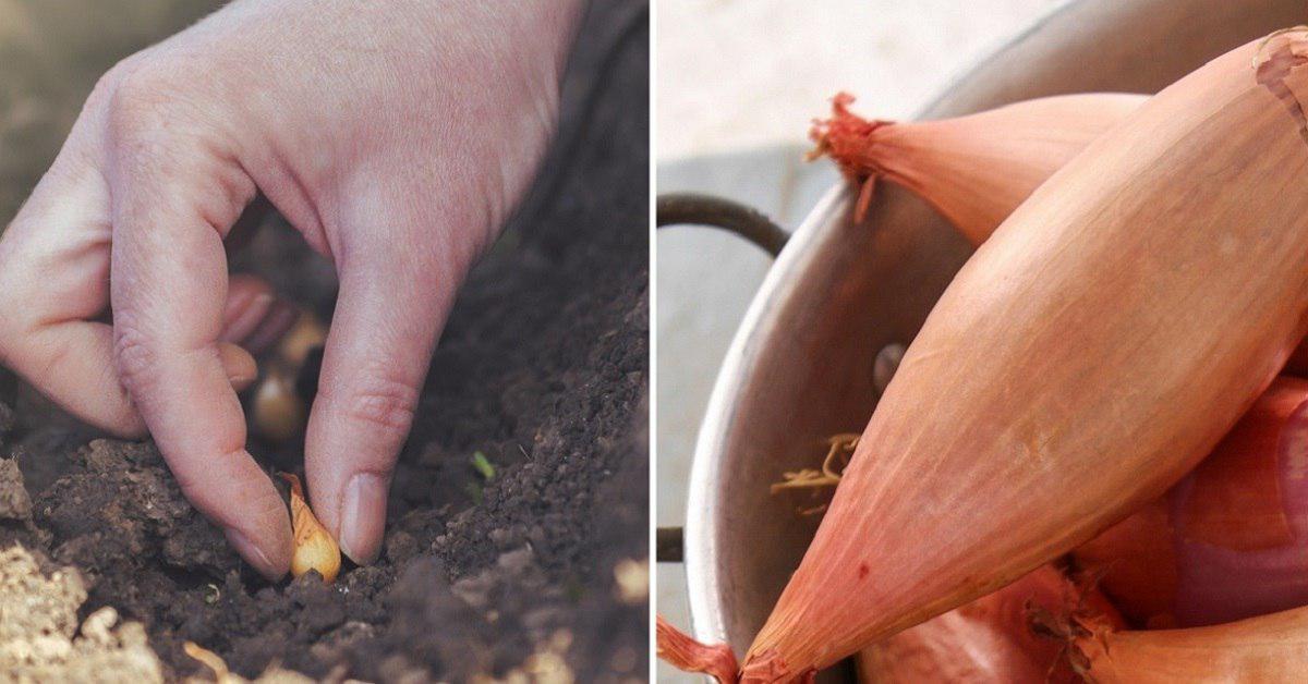 Как правильно садить лук сеянку thumbnail