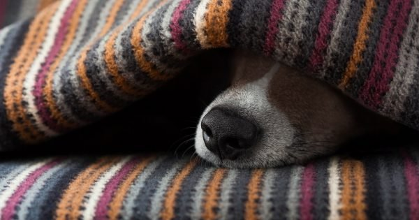 jack russell dog  sleeping under the blanket in bed the  bedroom,   ill ,sick or tired, sheet covering its face