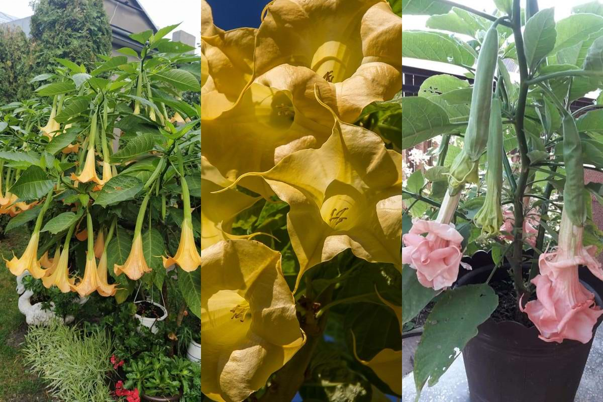 Ангельские трубы и другие многолетние цветы для сада одинокой хозяйки