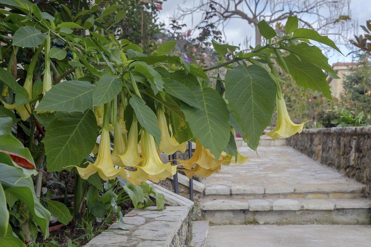 Многолетние цветы для сада и их королева: бругмансия