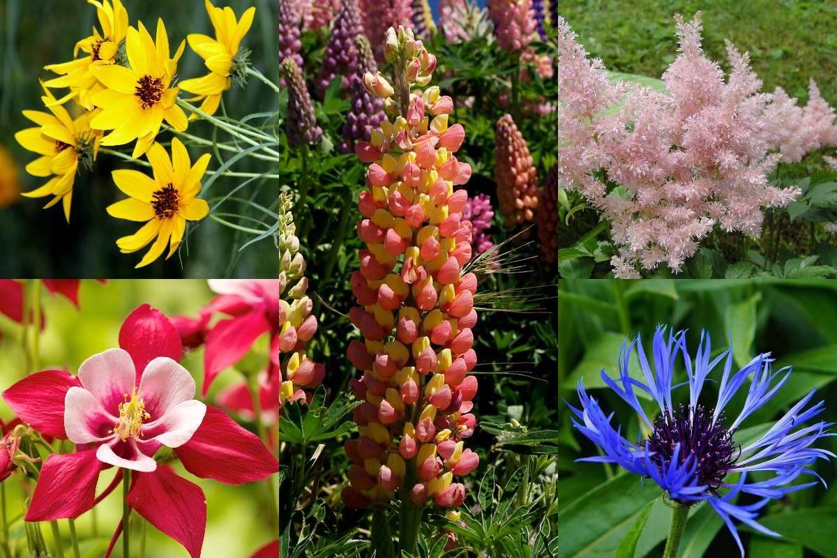 Многолетники, что будут неторопливо цвести с июня по август, радуя хозяйку