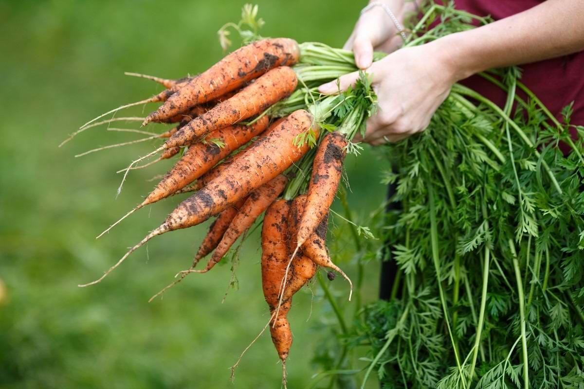 чай из моркови