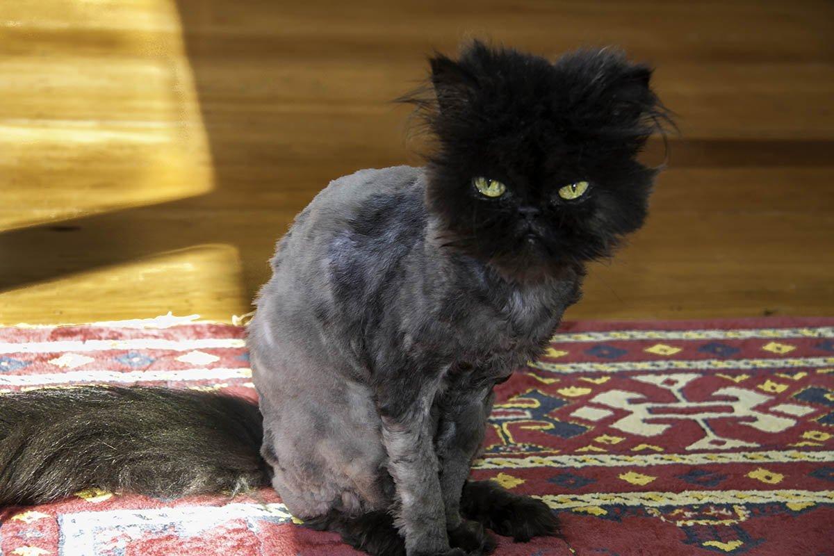 У бывшего мужа три котика, он всех бреет на лето, чтобы им не было жарко