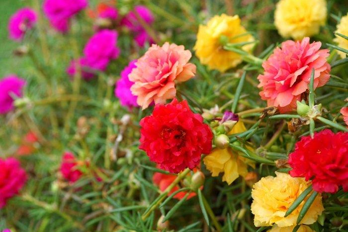 неприхотливые ароматные цветы