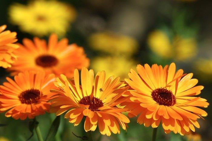 неприхотливые ампельные цветы