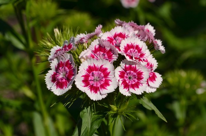 неприхотливые цветы для альпийской горки