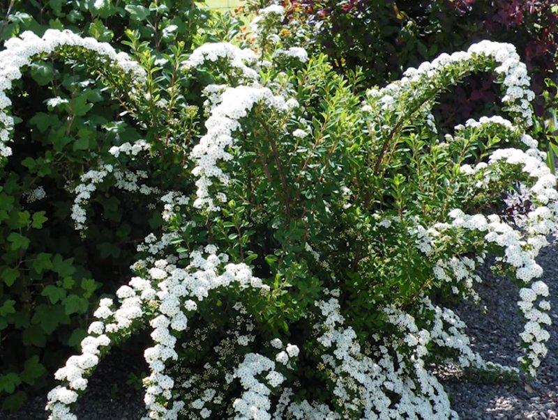 неприхотливые садовые кустарники