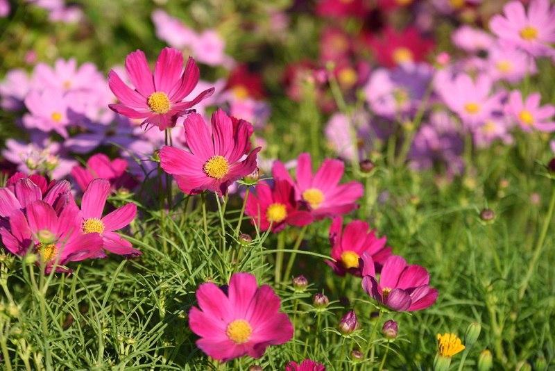 цветы в сад