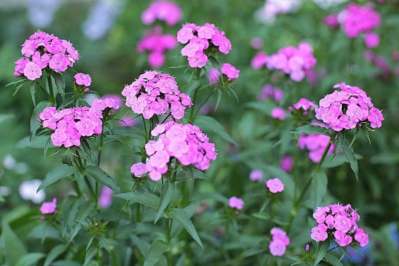обычные цветы на даче