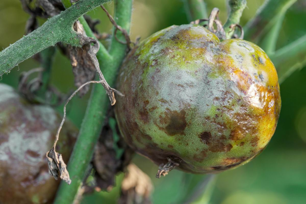 Чем полить грядки осенью, чтобы защитить огурцы и помидоры от вредителей и хворей на год вперед