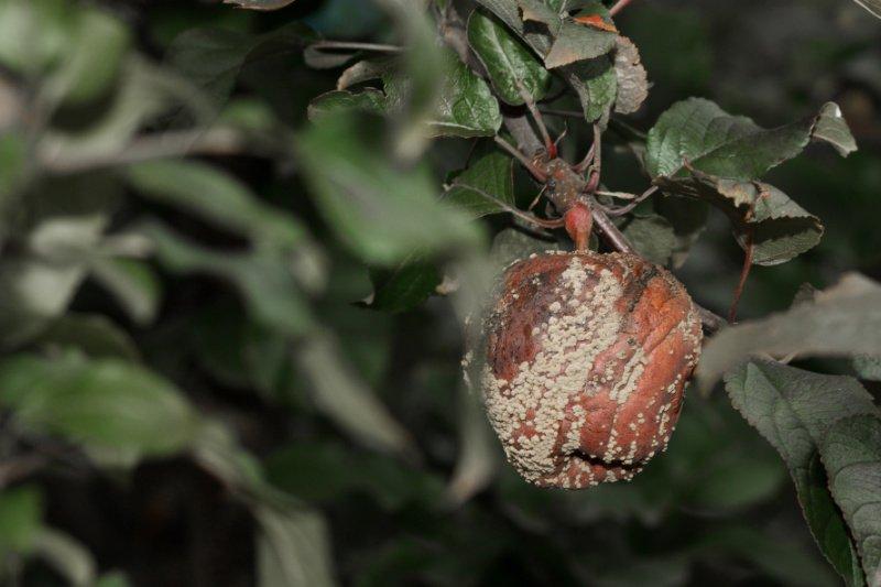 почему скручиваются листья яблони