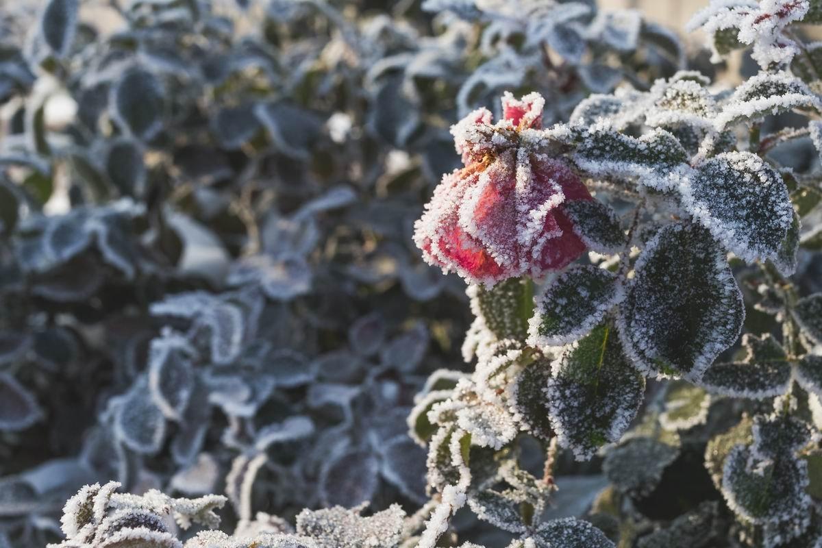 Как провести обрезку роз осенью, чтобы цветы перезимовали и пышно зацвели летом