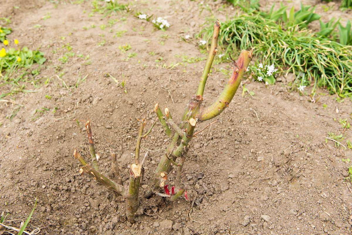 обрезка чайно-гибридных роз осенью