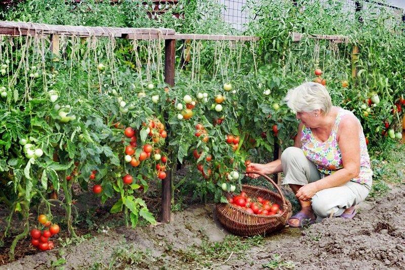 Новости - Рецепт щедрого урожая: добавляю половину чайной ложки на ведро воды полив растений борной кислотой