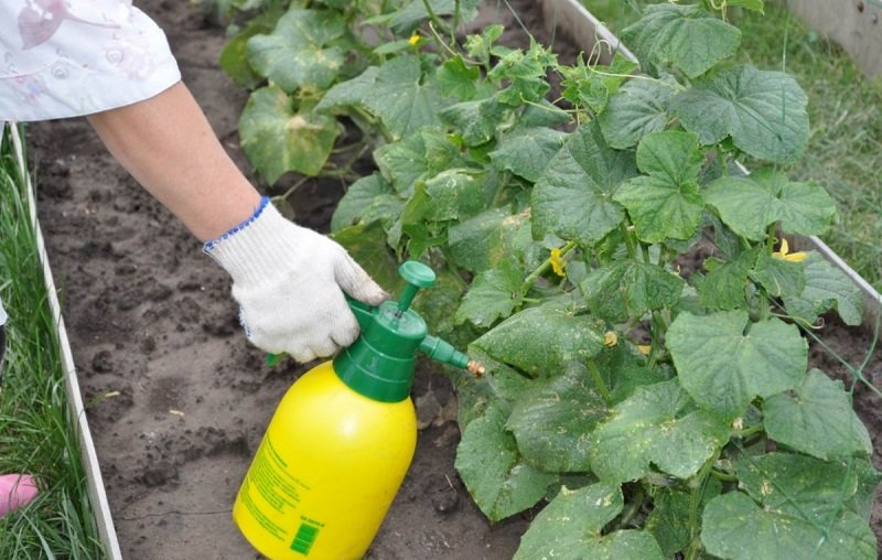 Новости - Рецепт щедрого урожая: добавляю половину чайной ложки на ведро воды опрыскивать растения борной кислотой