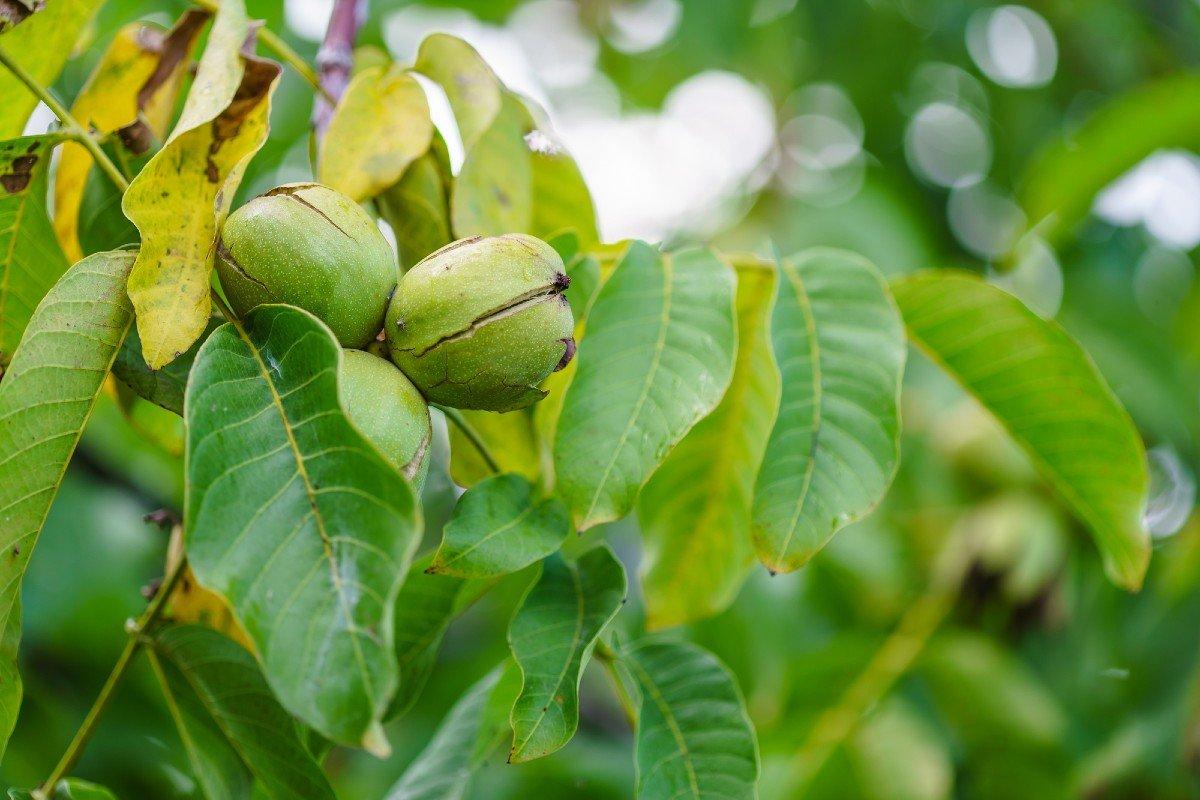 Где оставлять ореховые листья до весны, чтобы урожаю все завидовали