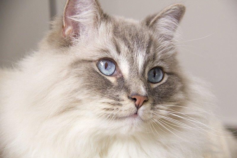 рейтинг пород кошек