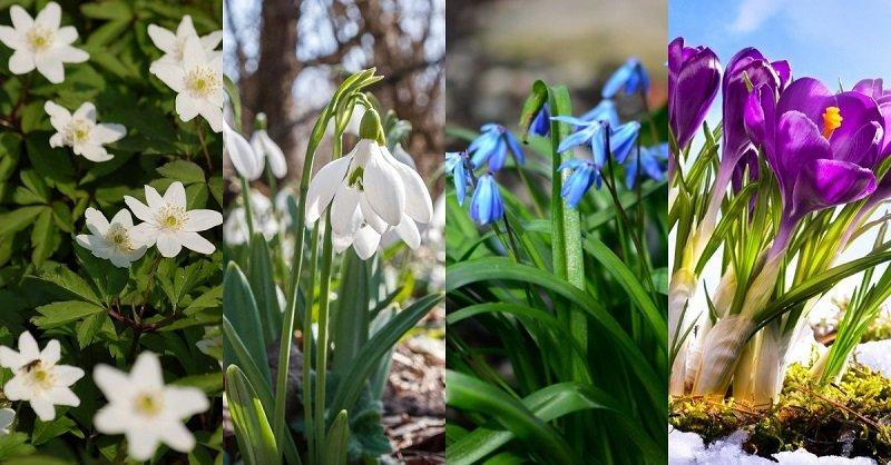 первые цветы весны картинки