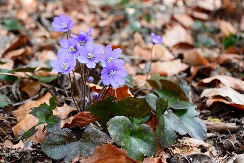 первоцветы беларуси