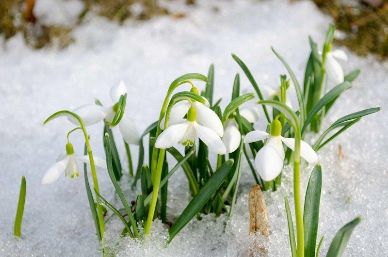 первые цветы весны фото и названия
