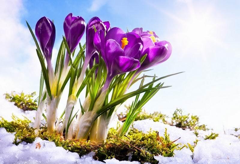 первоцветы кавказа
