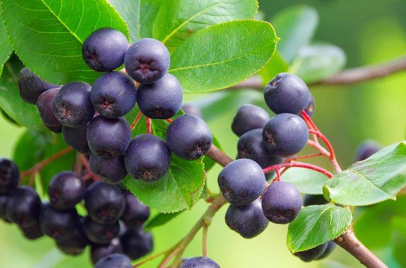 Чем полезен сироп из черноплодной рябины