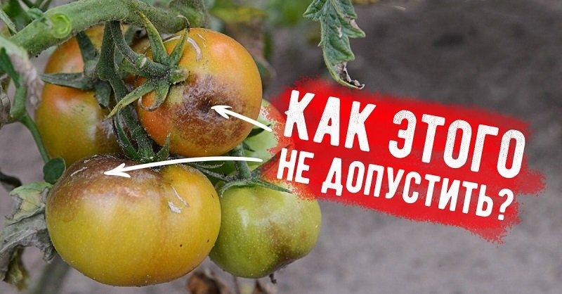 почему чернеют помидоры на кустах