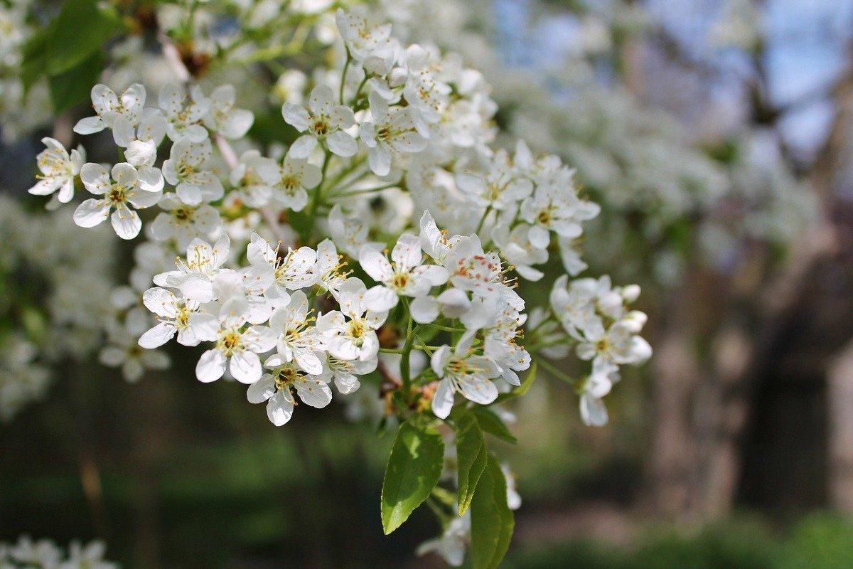 Вишня стояла вся в цвету, а ягоды не завязались, в чём причина скудного урожая