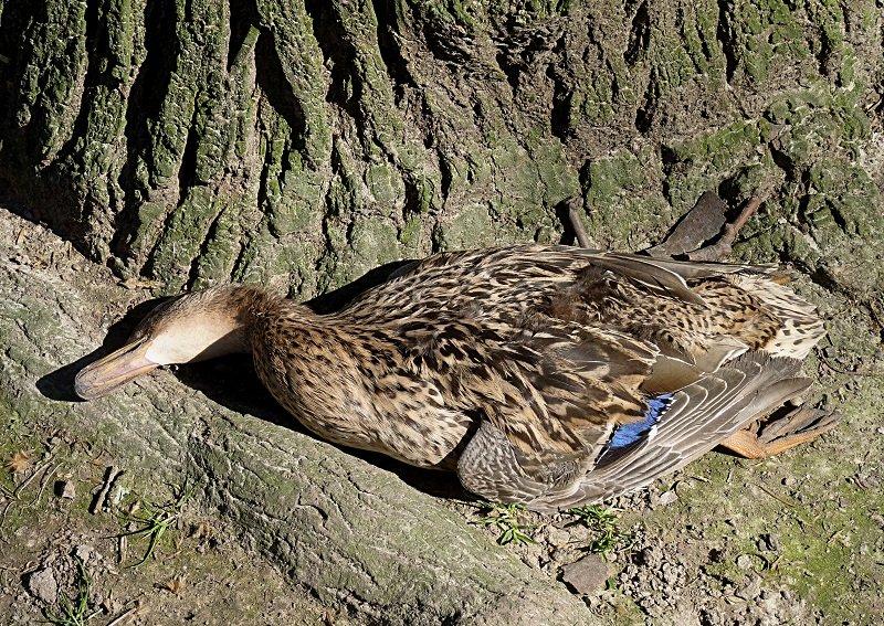 мертвая утка
