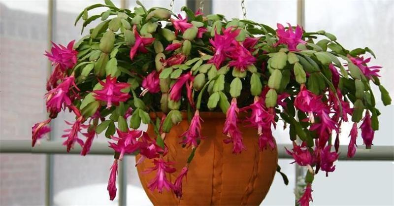 подкормка комнатных растений народными средствами